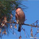 アカウソ・ウソ:木の実を食べる様子|野鳥|摂津峡(大阪北摂)