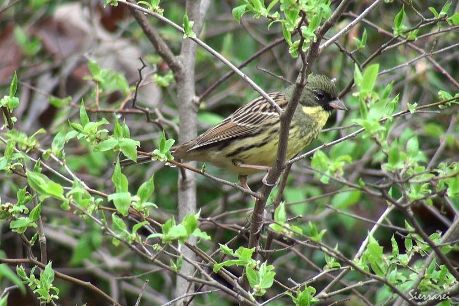 アオジのさえずり|野鳥|北摂 摂津峡