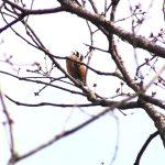 桜の木の上でさえずる「ホオジロ」|野鳥|摂津峡(大阪北摂・高槻市)