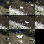 ニュータイプか!と思わせるコサギの小魚を捕獲する姿|野鳥|摂津峡(大阪北摂・高槻市)