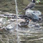 ムクドリ:川で全身をブルブルさせて水浴び|野鳥|摂津峡(大阪北摂 高槻市)