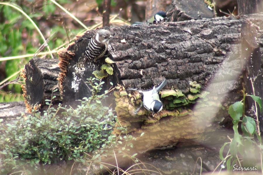 シジュウカラ・コゲラ|野鳥|摂津峡