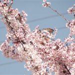 桜の花を食べに来たスズメ&ニュウナイスズメ|野鳥|摂津峡(大阪北摂 高槻市)