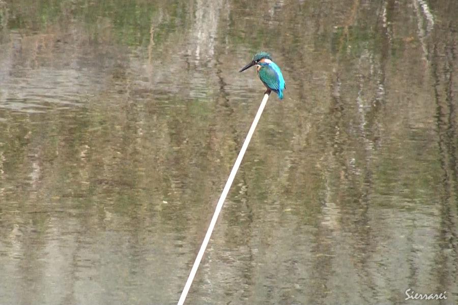 カワセミ|野鳥|摂津峡 北摂 高槻市