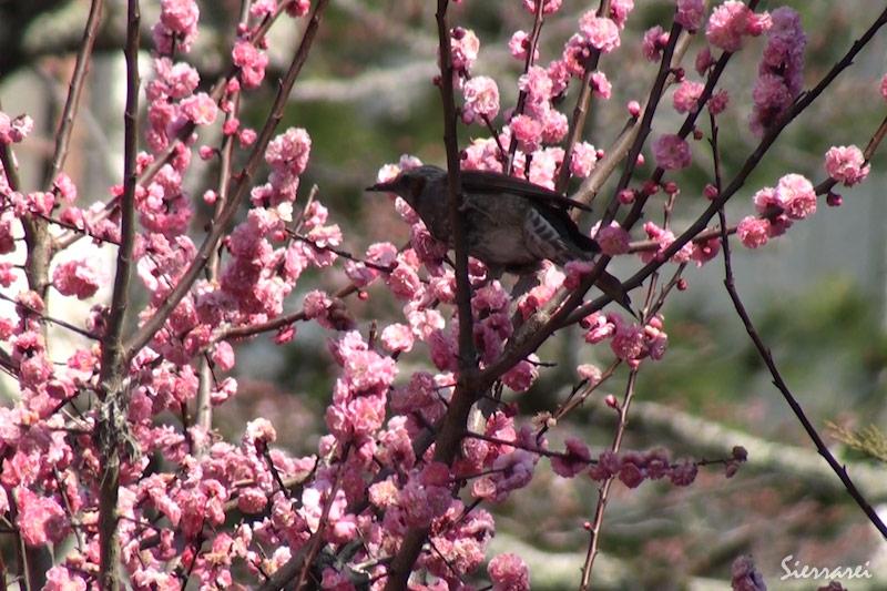 梅の花の蜜を吸うヒヨドリ|野鳥|摂津峡(大阪北摂 高槻市)