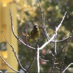 カワラヒワ(Oriental Greenfinch)の毛づくろいの様子(鳴き声あり)|野鳥|摂津峡(大阪北摂 高槻市)(撮影は4月上旬)