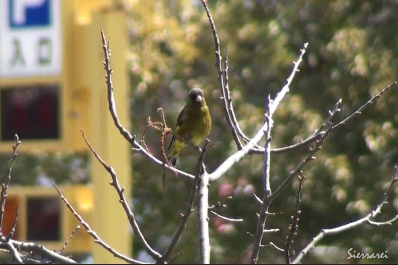 カワラヒワ(Oriental Greenfinch)の毛づくろいの様子(鳴き声あり)|野鳥|摂津峡(大阪北摂 高槻市)