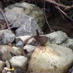 川辺でエサを求めて飛びまわるミソサザイ(Eurasian Wren)|野鳥|大阪北摂
