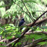 オオルリ(Blue-and-White Flycatcher):低めの木に飛んできてくれました|野鳥|大阪北摂