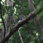 オオルリ(Blue-and-White Flycatcher) 鳴き声|野鳥|摂津峡(大阪北摂 高槻市)