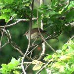 うぐいす(Japanese Bush Warbler)の鳴き声(普通のものと谷渡り)|野鳥|摂津峡(大阪北摂 高槻市)