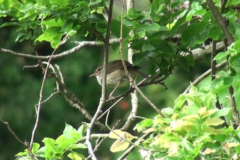 ウグイス|野鳥|摂津峡(大阪北摂 高槻市)