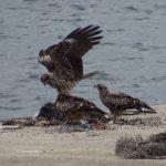 漁港に下りて、エサを探すトビ(鳶・Black Kite)[トンビ]|野鳥|京都与謝郡伊根町
