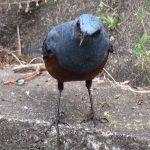 イソイヨドリ(Blue Rock Thrush)、ムカデを捕まえて(2:09~)地面に叩きつける|野鳥|摂津峡(大阪北摂 高槻市)(5月上旬撮影)