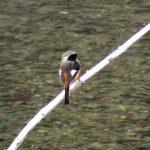 ジョウビタキ(オス)(Daurian redstart)|野鳥|摂津峡(大阪北摂 高槻市)(2月下旬撮影)