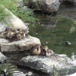 カルガモ(Grey duck)親子。近寄ってきたコサギは追い払います。|野鳥|摂津峡(大阪北摂 高槻市) (6月中旬撮影)