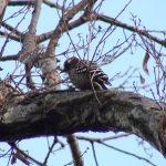 コゲラ(Japanese Pygmy Woodpecker):木をつつく音がよく聞こえてきます。|野鳥|摂津峡(大阪北摂 高槻市)(3月上旬撮影)