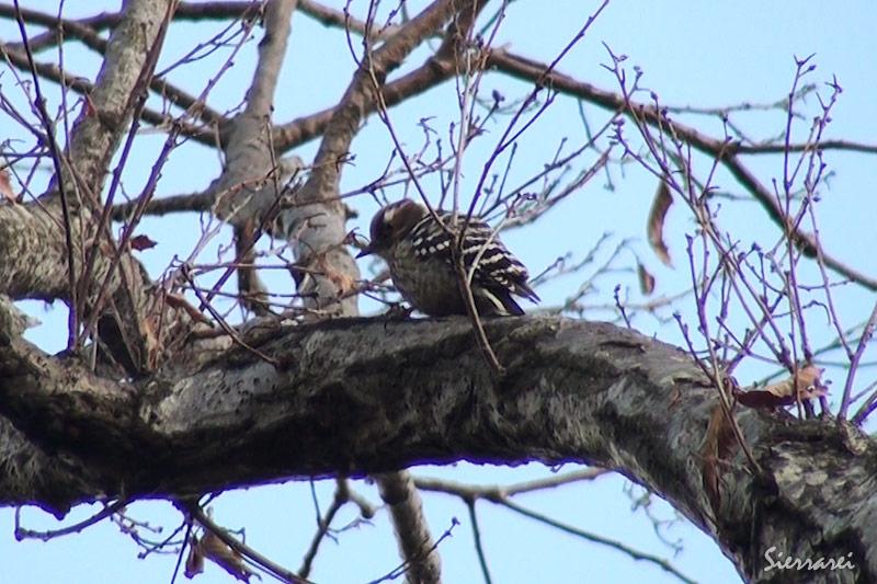 コゲラ(Japanese Pygmy Woodpecker):木をつつく音がよく聞こえてきます。|野鳥|摂津峡(大阪北摂 高槻市)