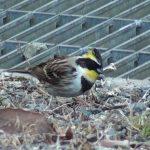 エサをついばむミヤマホオジロ(Yellow-throated bunting)|野鳥|摂津峡(大阪北摂 高槻市)(2月下旬撮影)