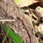 クヌギの木の上で日向ぼっこ中のニホンカナヘビ|摂津峡(大阪北摂 高槻市)(4月下旬撮影)