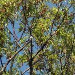 川の対岸の木の上で鳴くオオルリ(Blue-and-White Flycatcher)|野鳥|摂津峡(大阪 北摂)00724(4月下旬撮影)
