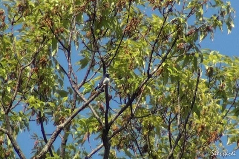 オオルリ|野鳥|摂津峡(大阪北摂 高槻市)