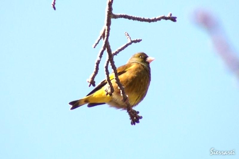 カワラヒワ|野鳥|摂津峡(大阪北摂 高槻市)