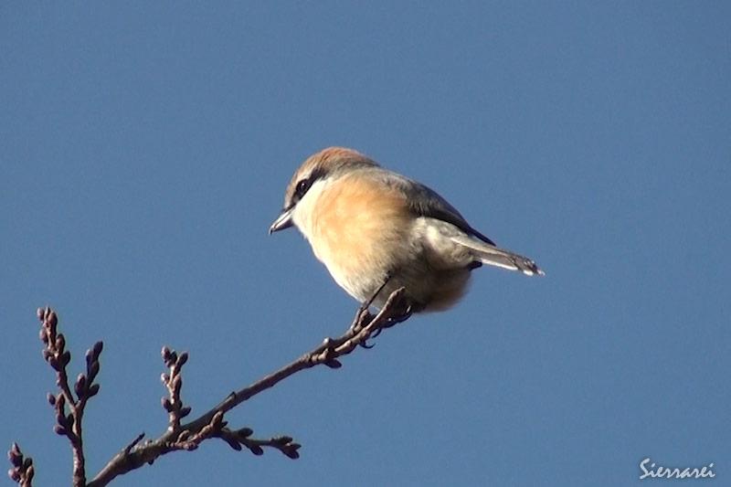 モズ|野鳥|摂津峡(大阪北摂 高槻市)