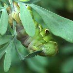 ヘンルーダ(ルー)の葉を食べるナミアゲハの幼虫。この食べっぷりは見てみて気持ちいい