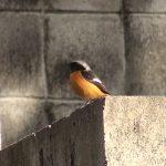 ジョウビタキ(オス)(Daurian redstart)鳴き声あり|野鳥|摂津峡(大阪北摂 高槻市)(3月中旬撮影)