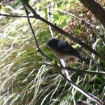 縄張り内を頻繁に移動していくルリビタキ(Red-flanked bluetail)|野鳥|摂津峡(大阪北摂 高槻市)(3月中旬撮影)