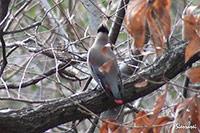 イカル|野鳥|摂津峡