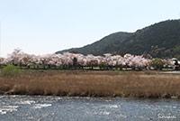 京都嵐山の渡月橋下流側からの桜の眺め