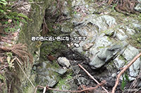 ミソサザイ(撮影:大阪北摂)