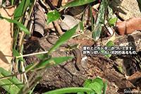 ニホンカナヘビ(摂津峡 北摂 高槻市)