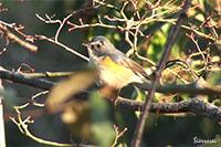 ルリビタキ|野鳥|摂津峡