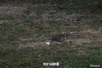 トラツグミ(撮影:摂津峡 高槻市)