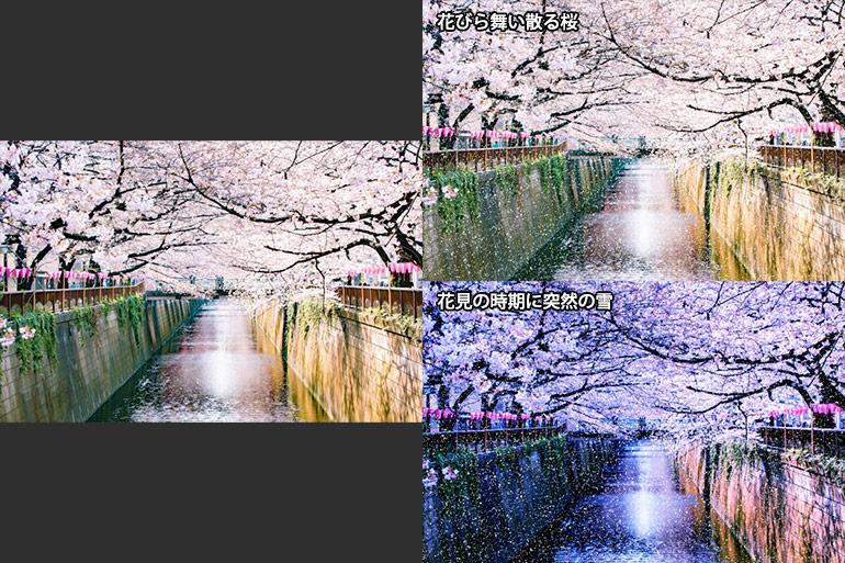 花びら舞い散る桜&花見の時期に突然の雪|Paintshop画像合成