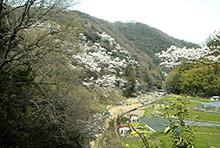 2009年-大阪北摂の桜