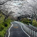 大阪北摂の桜
