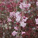 2016年:桜