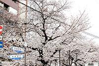 京都河原町 鴨川沿い桜