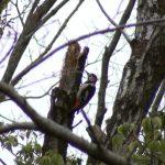 アカゲラ|野鳥|摂津峡(大阪北摂・高槻市)