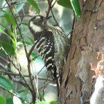 コゲラ(鳴き声、エサの幼虫を見つけ出すシーンあり)|野鳥|摂津峡(大阪北摂)