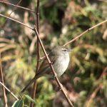 ウグイスが全身を使って鳴く様子|野鳥|摂津峡(大阪北摂)