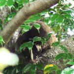 摂津峡で出会ったハクビシン(Masked Palm Civet)|摂津峡(大阪北摂 高槻市)