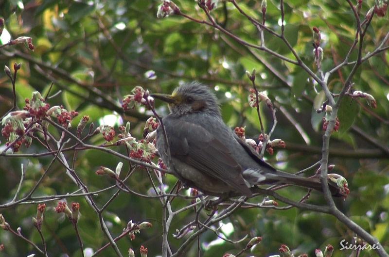ヒヨドリ|野鳥|摂津峡 北摂 高槻市
