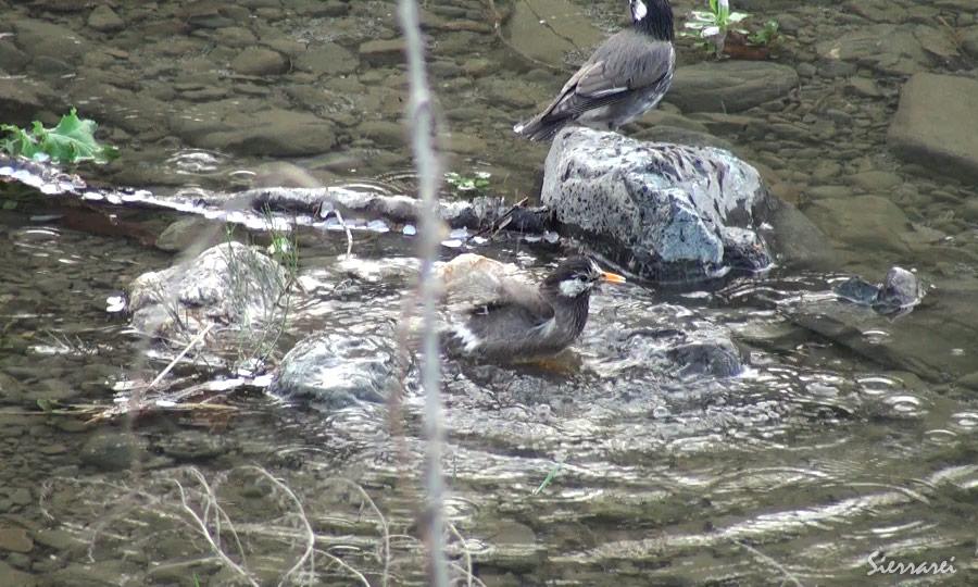 ムクドリの水浴び|野鳥|摂津峡(大阪北摂 高槻市)