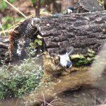 シジュウカラがきのこをつついている場所をコゲラが横取り|野鳥|摂津峡(大阪北摂・高槻市)
