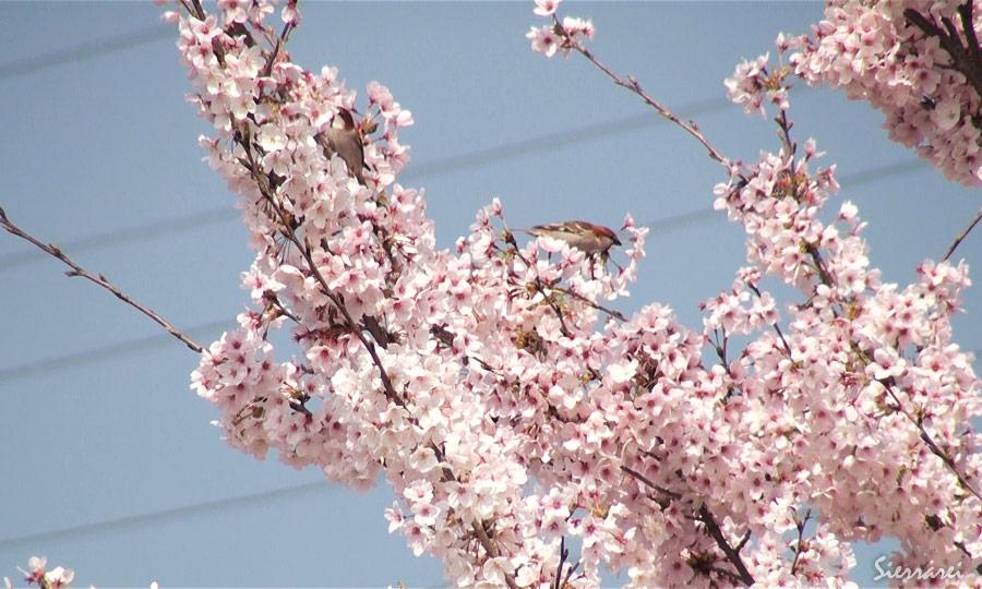 スズメ&ニュウナイスズメ|野鳥|摂津峡(大阪北摂 高槻市)